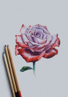 Drawn red rose pink rose Flowers : Rose Pop How