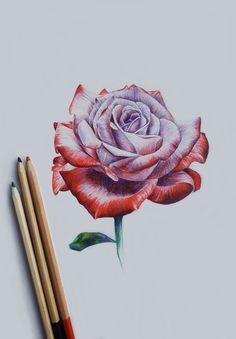 Drawn red rose pink rose Flowers Rose Rose Draw Pop