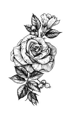 Drawn rose leaves Illustration commissioned and berries Illustrations