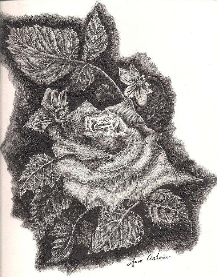 Drawn rose pen and ink And Rose Pen Marco Drawing