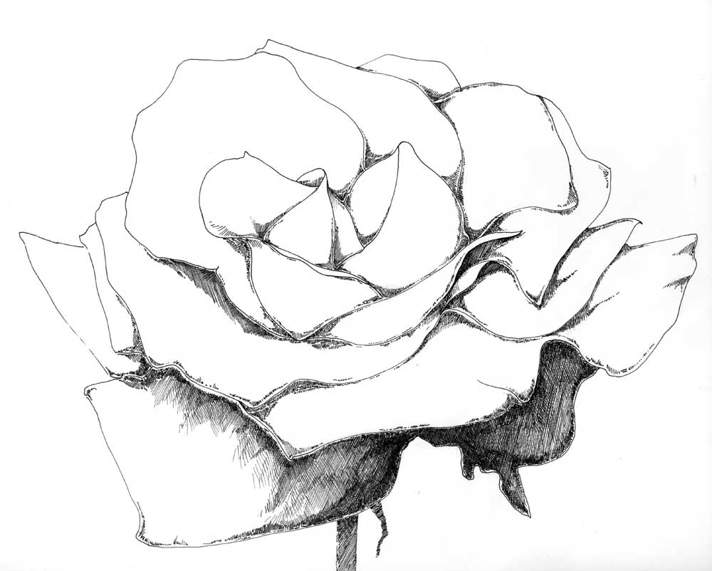 Drawn rose pen and ink Of and Ink Archives and