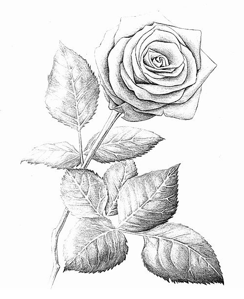 Drawn rose pen drawing Images Scarfinger 40 Pen roses