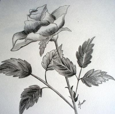 Drawn rose pencil for kid  while enjoy A A