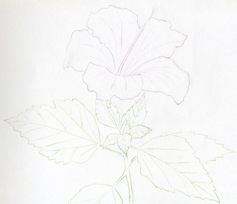 Drawn rose pencil for kid How Draw Hibiscus Flowers Hibiscus