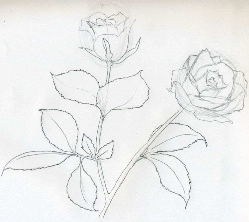 Drawn rose detailed Sketch Will You Rose Rose