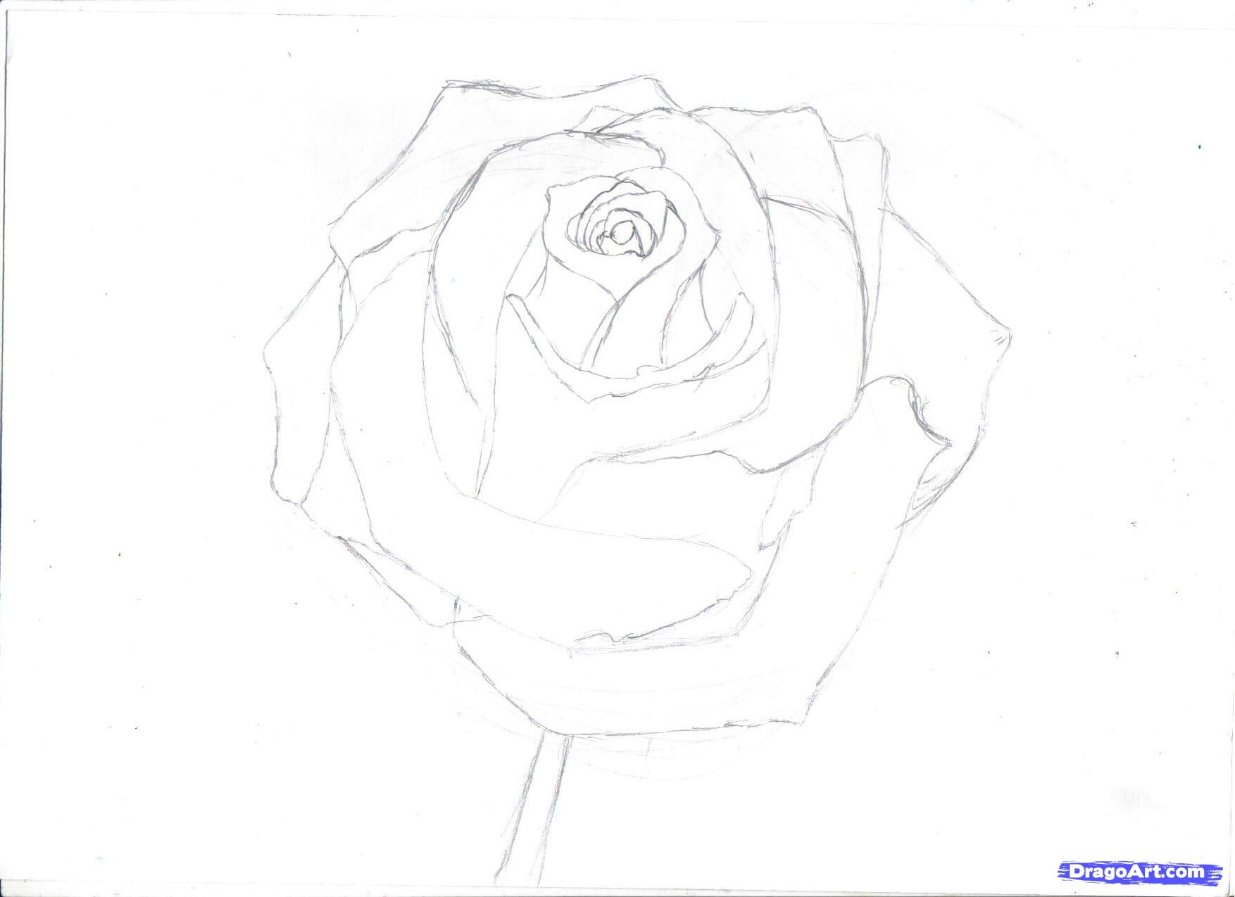 Drawn rose pencil outline Rose by to 2 a