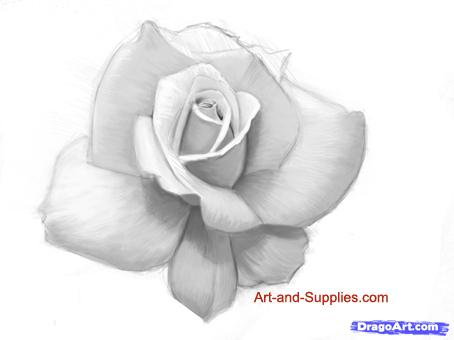 Drawn rose pencil outline To to a  step