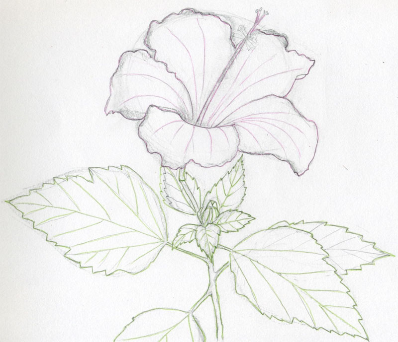 Drawn rose pencil outline To Drawing Hibiscus Draw Flowers