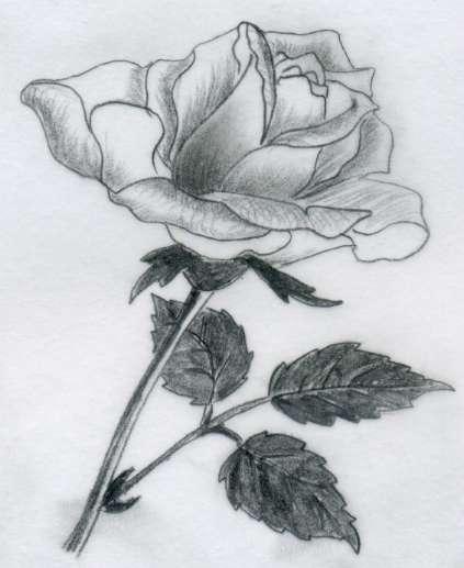 Drawn rose pencil sketch Stories · Drawings Pencil Rose