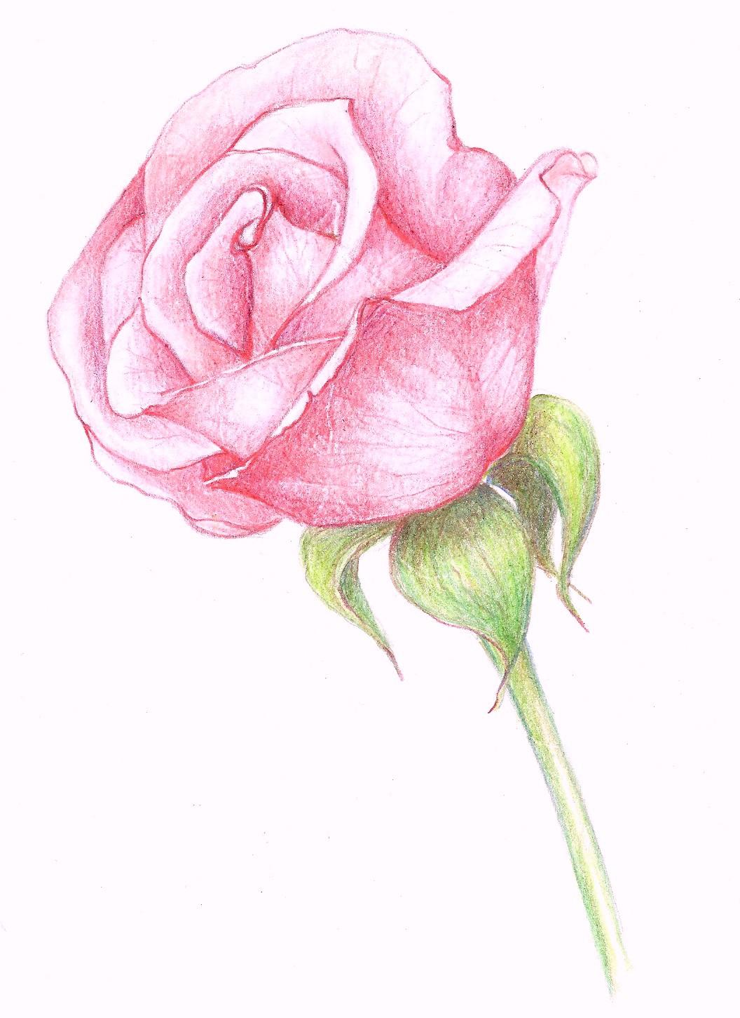 Drawn rose pink rose Ideas Rose Rose Pinterest Pink