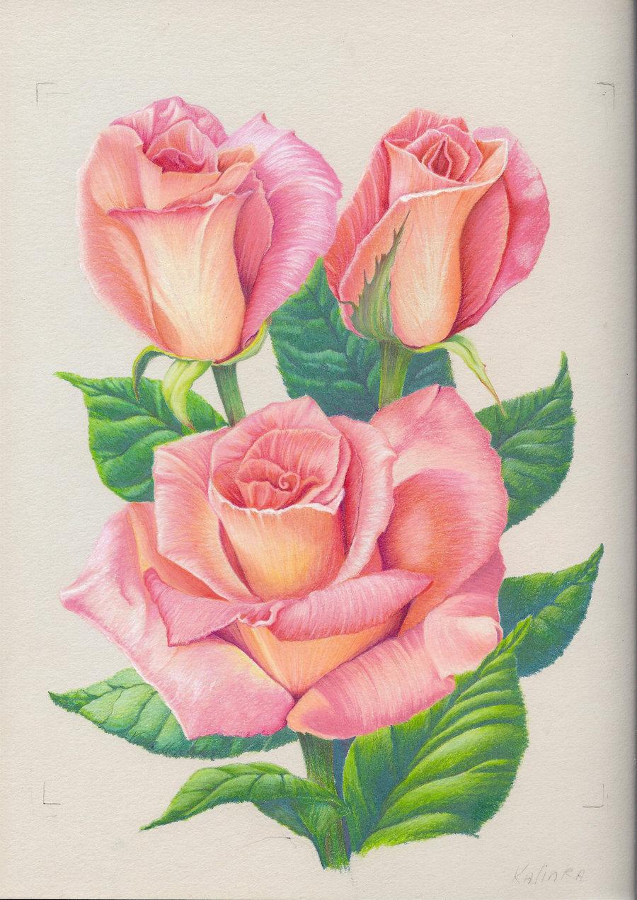 Drawn rose pink rose Pink Drawing Rose Rose habrumalas:
