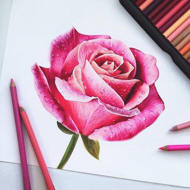 Drawn rose pink rose More פרחים this Rose on