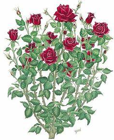 Drawn red rose plant Single but of I bush