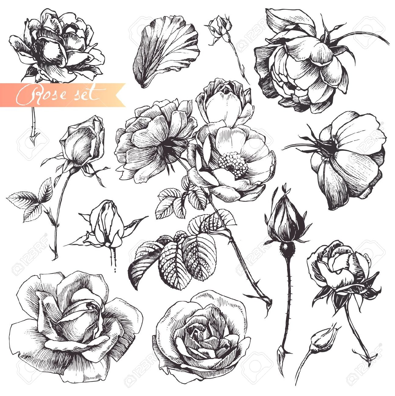 Drawn rose plant Detailed And Set: Flower Set: