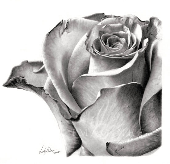 Drawn rose real rose For  your and 25