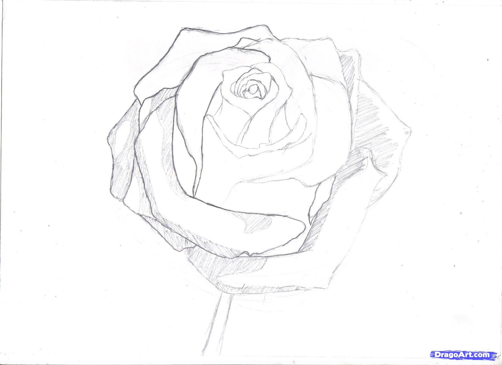 Drawn rose real rose Images Drawings Rose In Outline