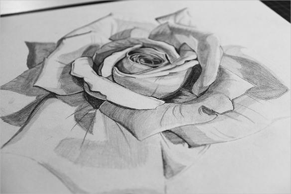 Drawn rose realistic Rose & Free Premium Drawing