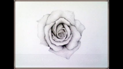 Drawn rose rose bloom To Draw Dailymotion by Bloom