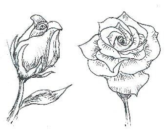Drawn rose rose bloom Draw Roses Draw Final to