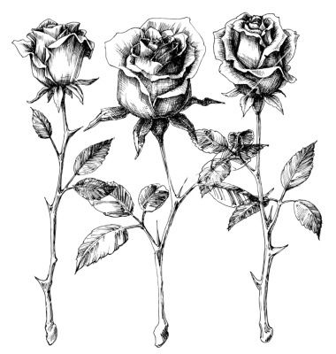Drawn rose rose bloom Drawing set on rose 25+