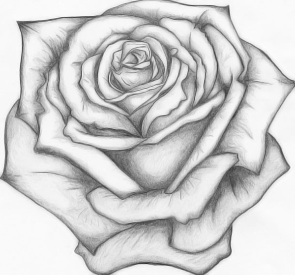 Drawn rose rose blossom Outline Deviantart Old Like More