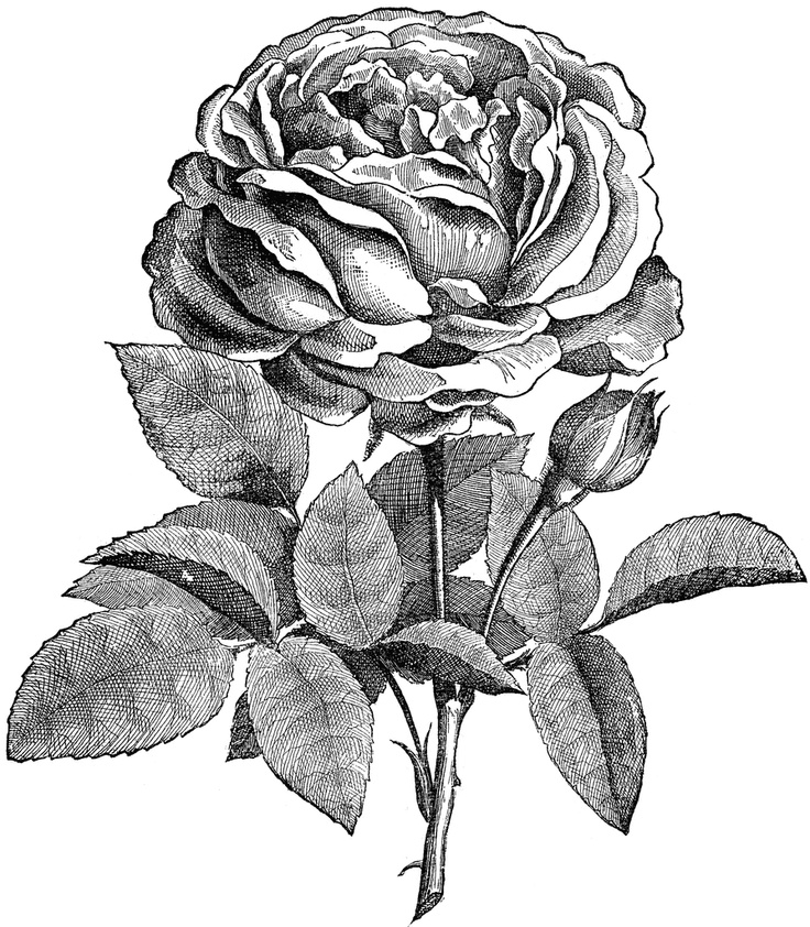 Drawn rose rose blossom 24 Find about Drawing Pinterest
