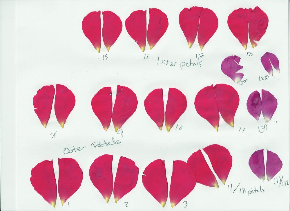 Drawn rose rose petal  Rose Tutorial Wand