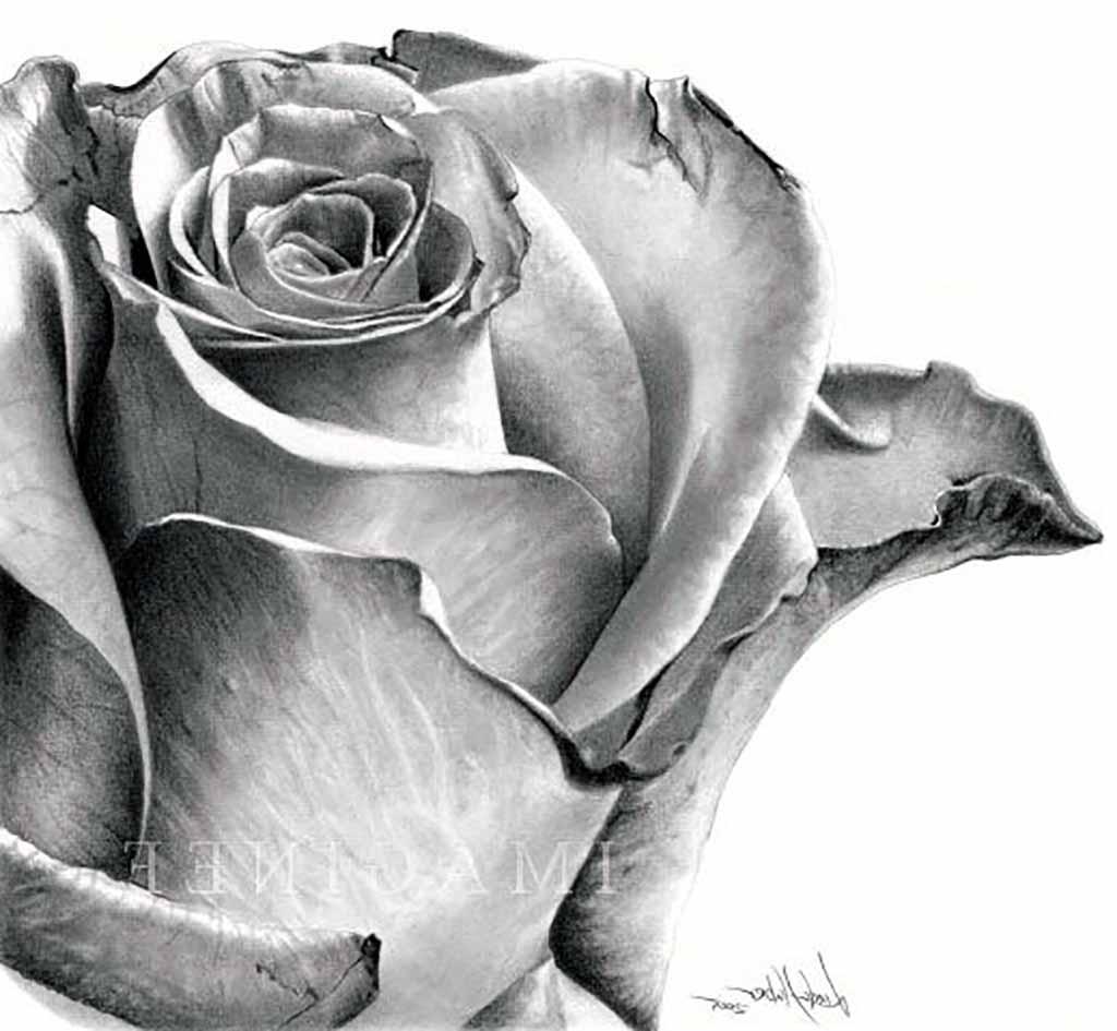 Drawn rose shaded And White Drawing Black knumathise: