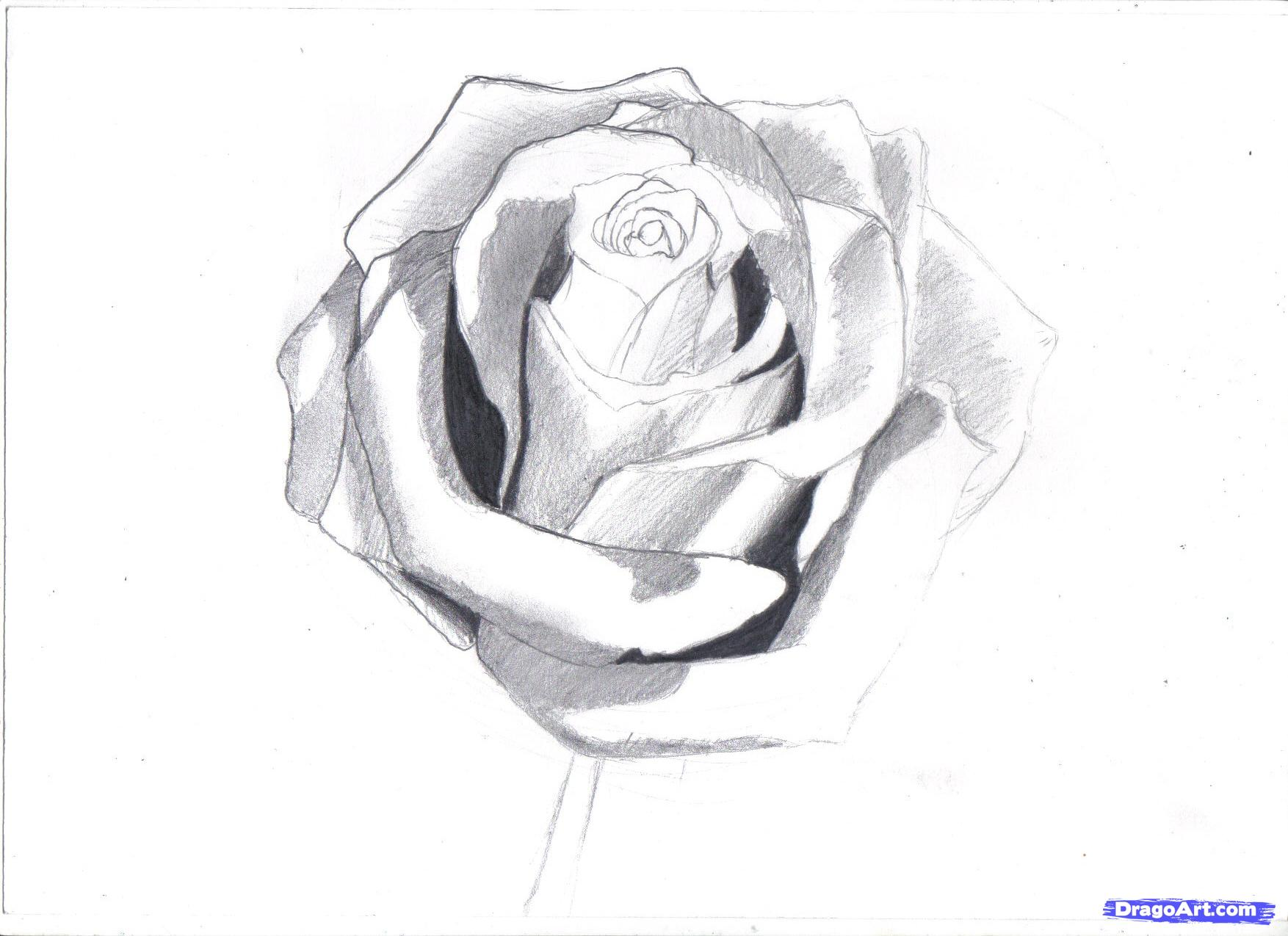 Drawn rose simple realism A rose realistic rose