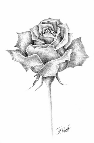 Drawn rose bush single rose Drawing Best Drawing? rose Rose