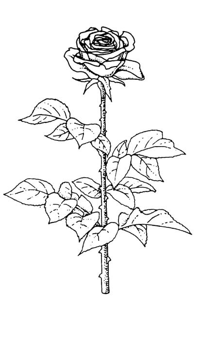 Drawn rose stem outline Decorative World  Vancouver BC
