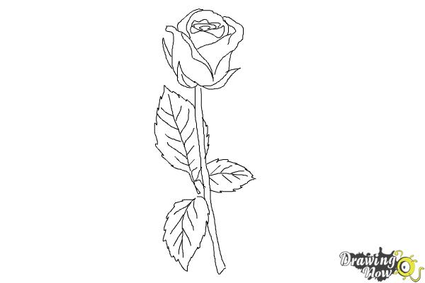 Drawn rose step by step Step Step How Rose Draw