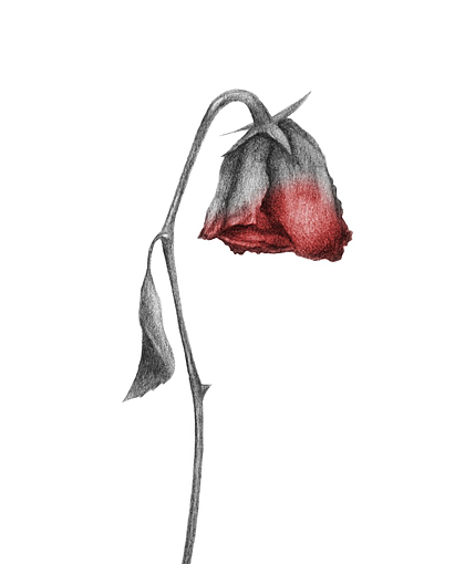 Drawn rose wilted Rose Wilting – The About