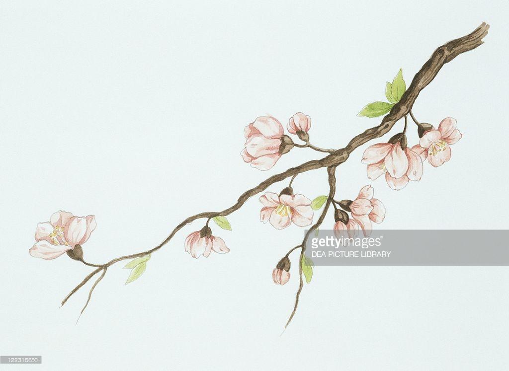 Drawn sakura blossom almond tree Flowers  Almond dulcis) Almond