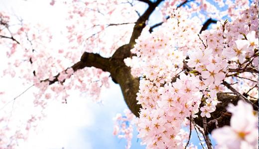 Drawn sakura blossom almond tree Lovely to cherry high hi