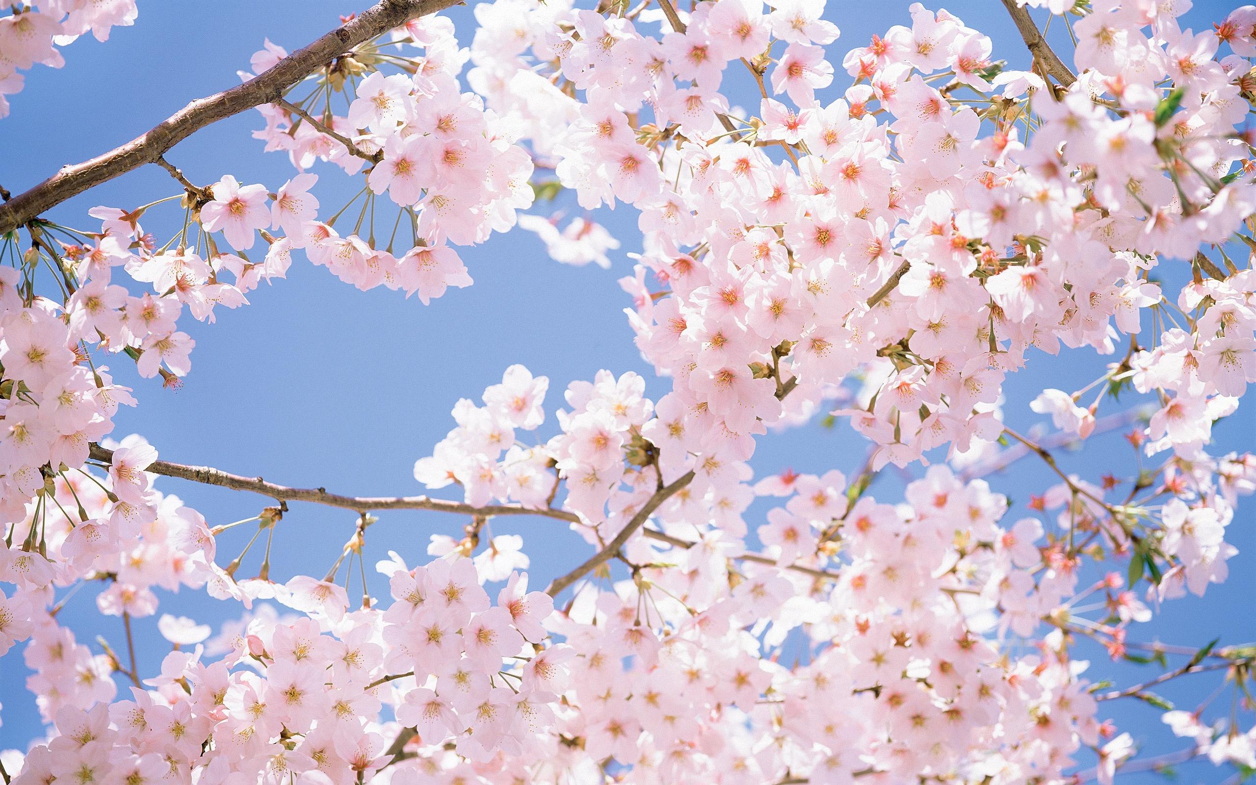 Drawn sakura blossom anime Drawing  Cherry Drawing Blossom