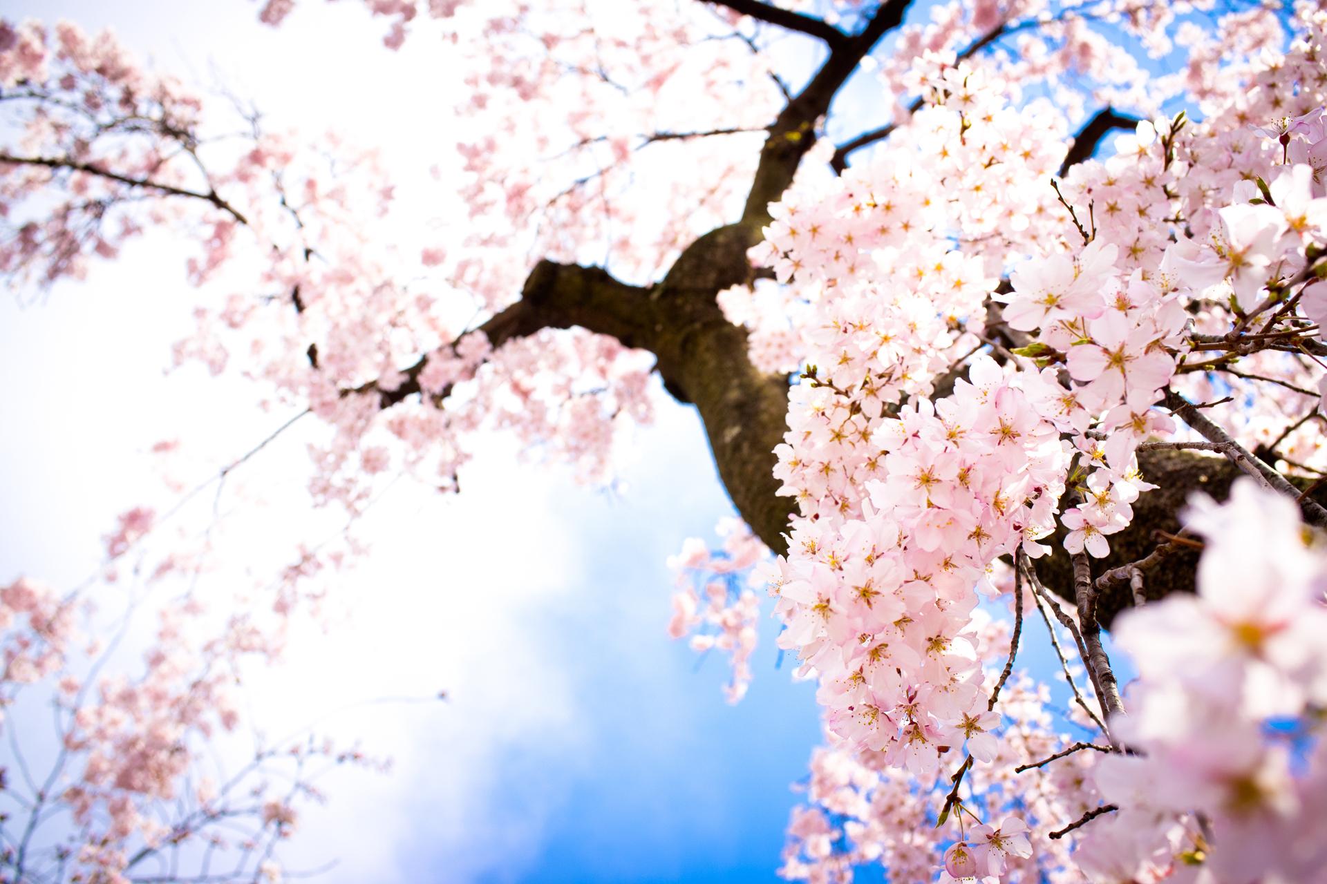 Drawn sakura blossom anime  Cherry Blossom Drawing Tree