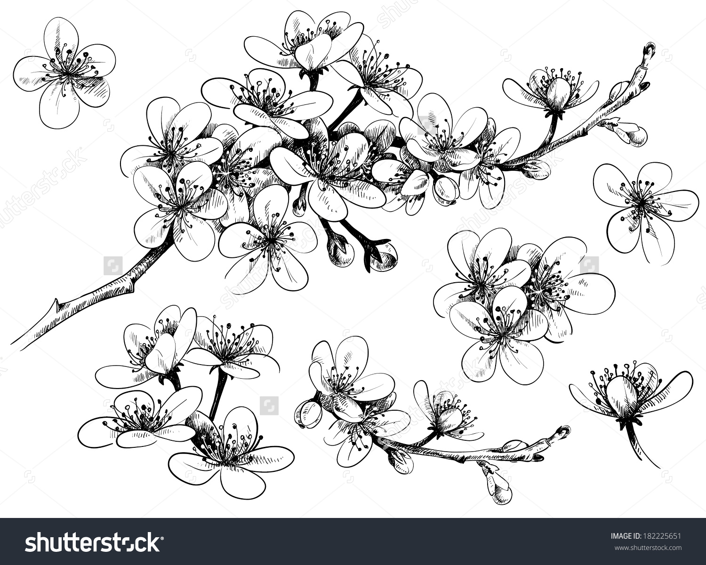 Drawn sakura blossom apple blossom Stock cherry Shutterstock cherry vector