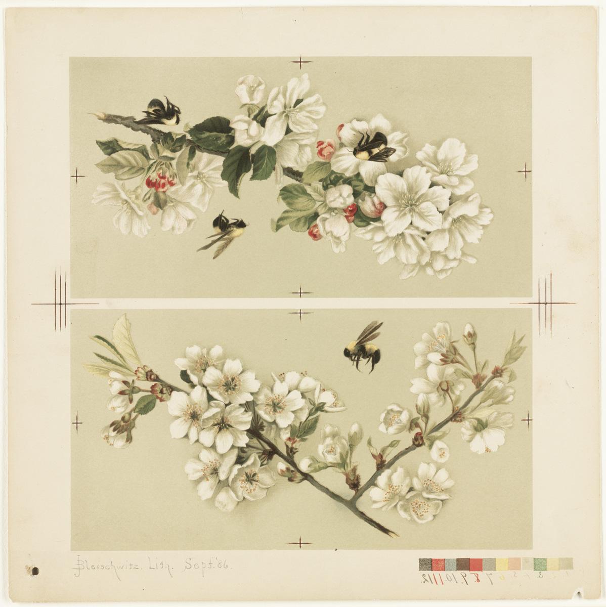 Drawn sakura blossom apple blossom And Bees File:Cherry Drawing (Boston