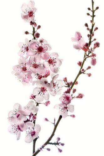 Drawn sakura blossom apple blossom Ideas painting on on White