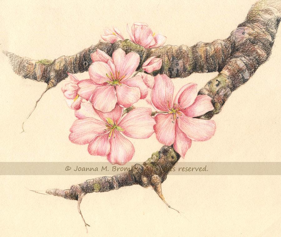 Drawn sakura blossom apple blossom  on Branch by Apple