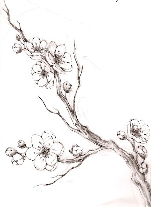 Drawn sakura blossom apricot blossom  blossom Cherry tree art