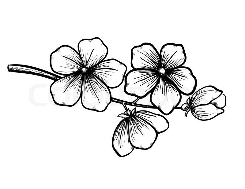 Drawn sakura blossom black and white And cherry Cherry of Black