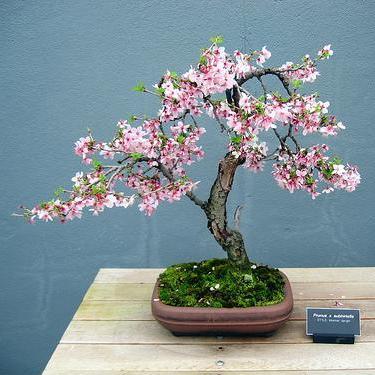 Drawn sakura blossom bonsai tree Tree for Asian Cherry Pinterest