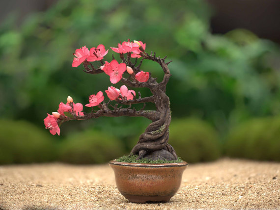 Drawn sakura blossom bonsai tree Cherry Bonsai bonsai cherry bonsai