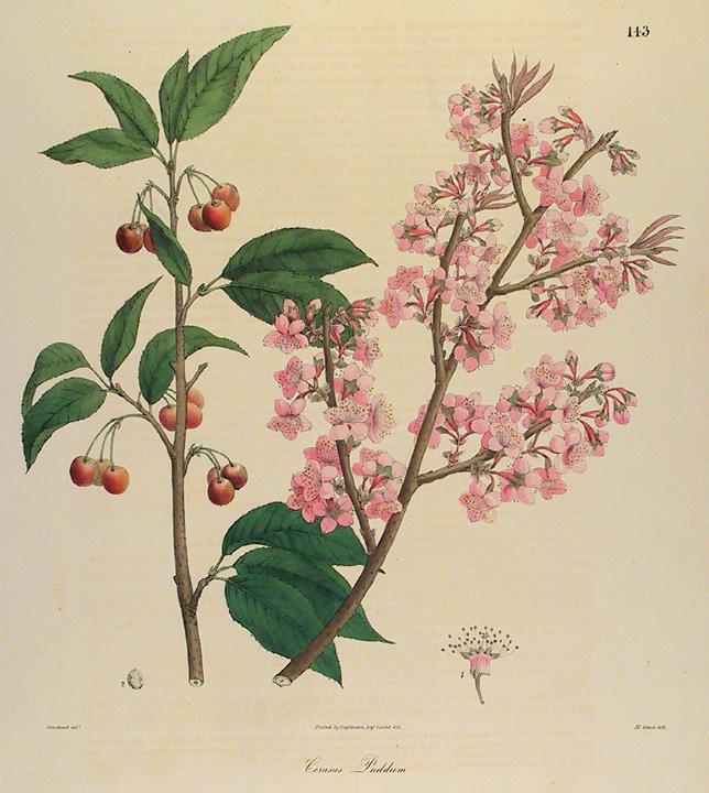 Drawn sakura blossom botanical Old The Gallery Cherry Print