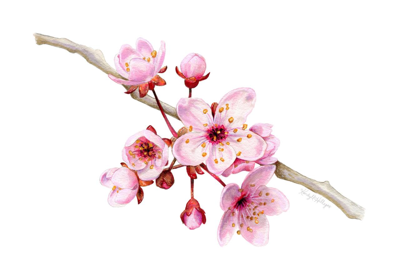 Drawn sakura blossom botanical Paper Mixed Blossoms on Hillegas