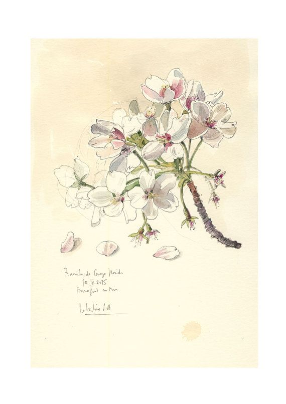 Drawn sakura blossom botanical Drawing Pinterest drawing cherry ideas