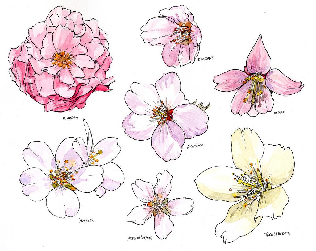 Drawn sakura blossom botanical Cherry and Watercolor species species