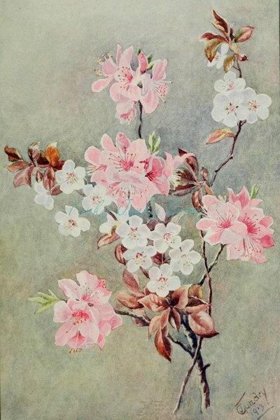 Drawn sakura blossom botanical Chinese  Digital Restored Chinese